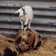 Chomp and pig