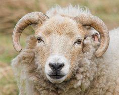 Portland sheep